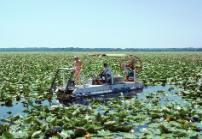 Cutting Water Lily to maintain a boat trail on Lake Miccosukee (ca 1977)